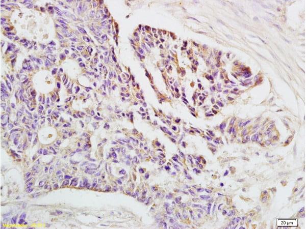 HLA E Antibody in Immunohistochemistry (Paraffin) (IHC (P))