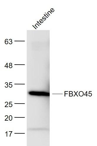 FBXO45 Antibody in Western Blot (WB)