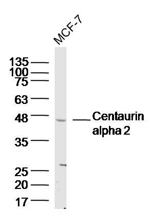 Centaurin alpha 2 Antibody in Western Blot (WB)