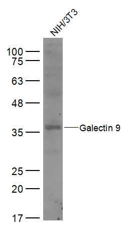 Galectin 9 Antibody in Western Blot (WB)