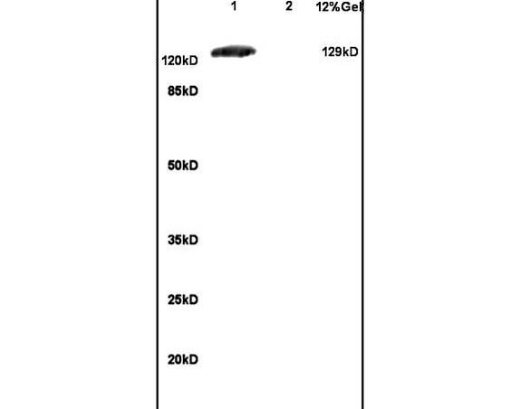 Group I mGLUR Antibody in Western Blot (WB)