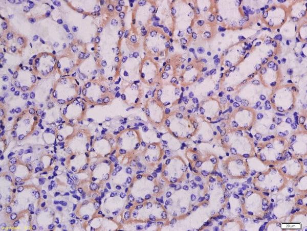 LRRC67 Antibody in Immunohistochemistry (Paraffin) (IHC (P))