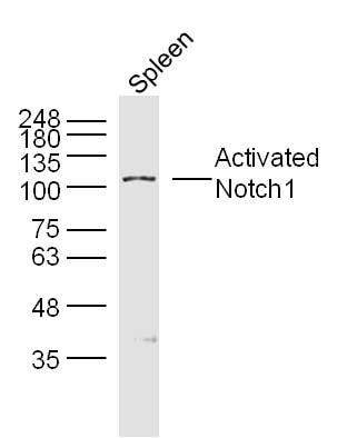 Neurogenic locus notch homolog protein 1 Antibody in Western Blot (WB)