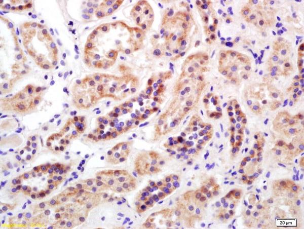 Mitofusin 2 Antibody in Immunohistochemistry (Paraffin) (IHC (P))
