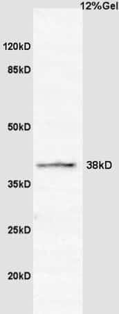 Cyclin G2 Antibody in Western Blot (WB)