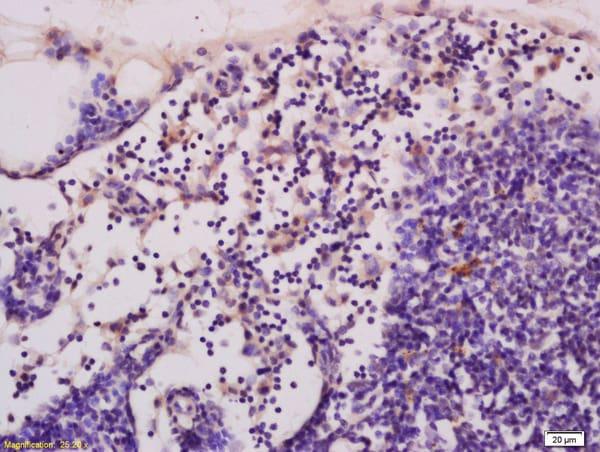 cGMP Antibody in Immunohistochemistry (Paraffin) (IHC (P))