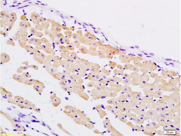 PER2/Period circadian protein 2 Antibody in Immunohistochemistry (Paraffin) (IHC (P))