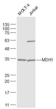 MDH1 Antibody in Western Blot (WB)