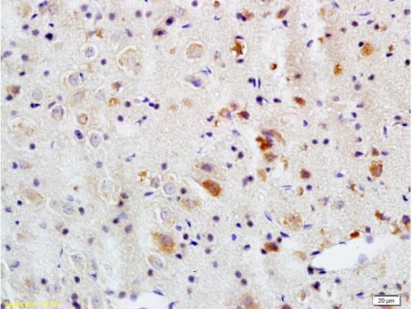 APG5L Antibody in Immunohistochemistry (Paraffin) (IHC (P))