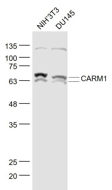 CARM1 Antibody in Western Blot (WB)