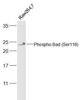 Phospho-Bad (Ser118) Antibody in Western Blot (WB)