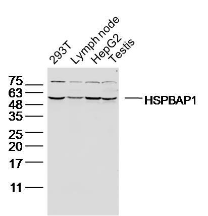 HSPBAP1 Antibody in Western Blot (WB)