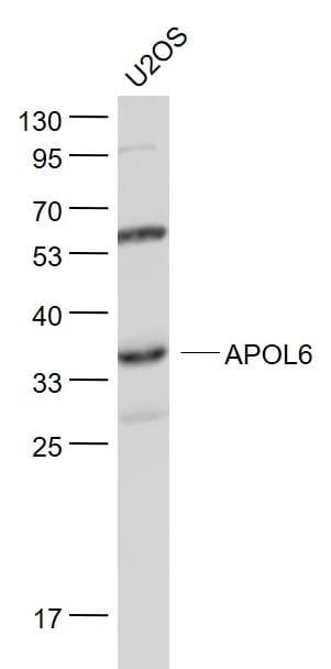 APOL6 Antibody in Western Blot (WB)