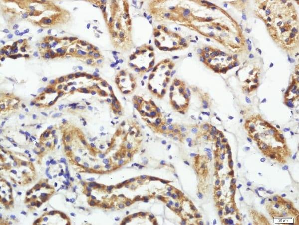 CD200R2 Antibody in Immunohistochemistry (Paraffin) (IHC (P))