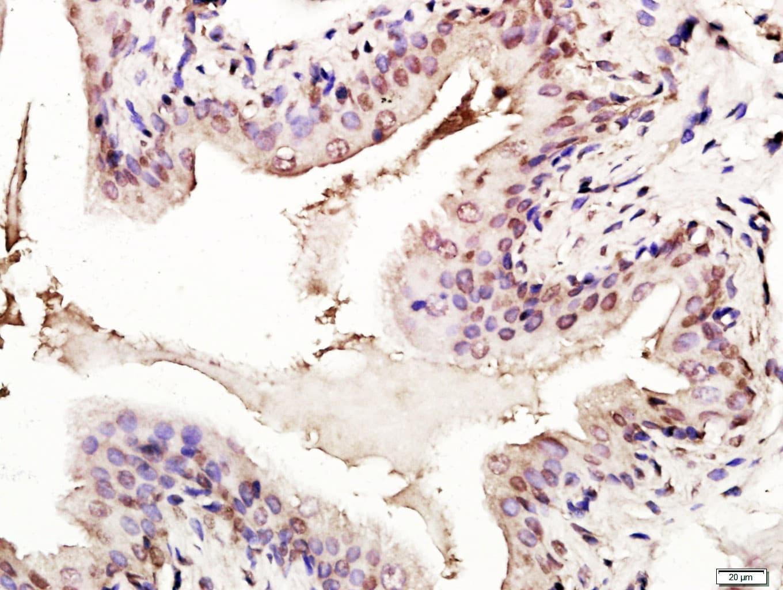 p53 FL-393 Antibody in Immunohistochemistry (Paraffin) (IHC (P))