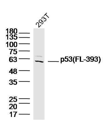 p53 FL-393 Antibody in Western Blot (WB)