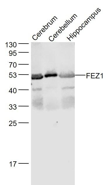 FEZ1 Antibody in Western Blot (WB)