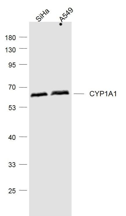 CYP1A1 Antibody in Western Blot (WB)