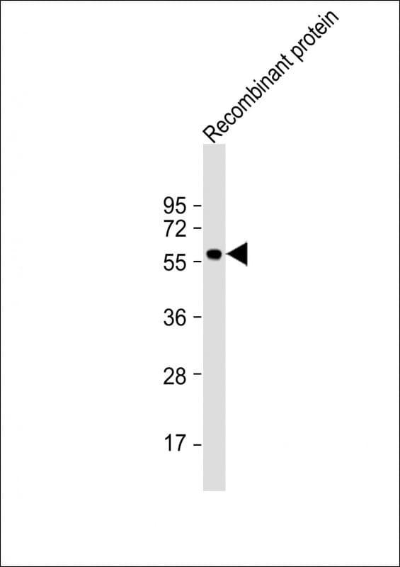KLF4 Antibody in Western Blot (WB)