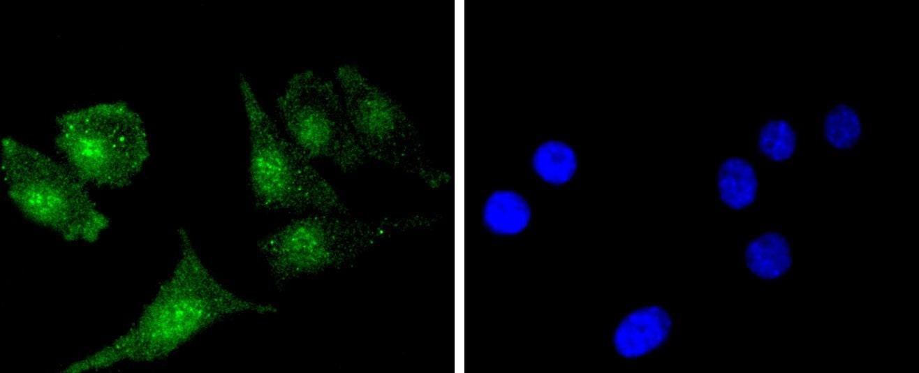 BCL2 Antibody in Immunofluorescence (IF)