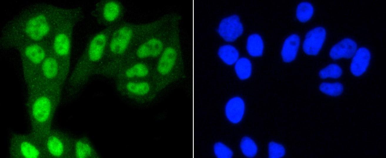 YAP1 Antibody in Immunofluorescence (IF)