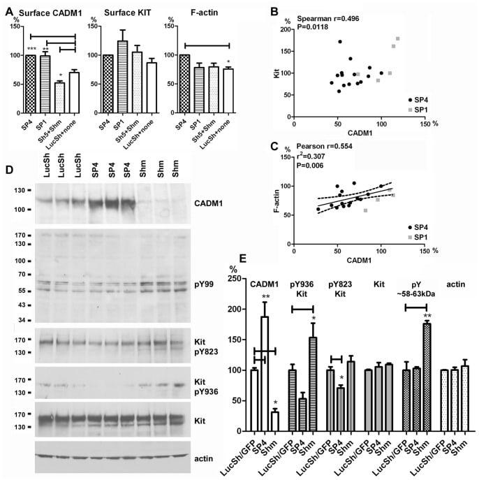 Phospho-c-Kit (Tyr936) Antibody