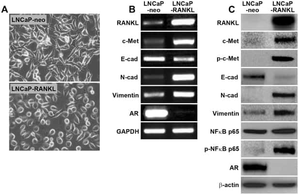 Phospho-c-Met (Tyr1230, Tyr1234, Tyr1235) Antibody