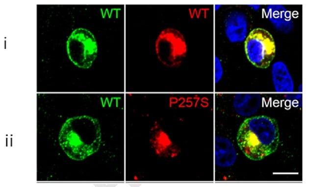 c-Myc Antibody in Immunocytochemistry (ICC/IF)