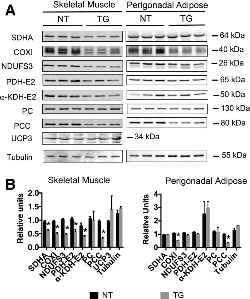 NDUFS3 Antibody