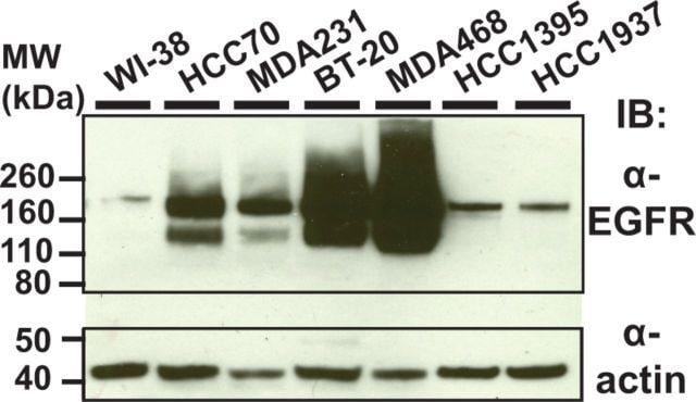 EGFR Antibody