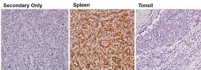 eNOS Antibody in Relative expression