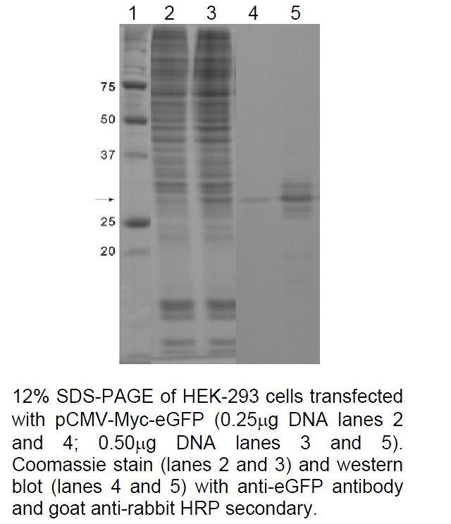 eGFP Antibody in Western Blot (WB)