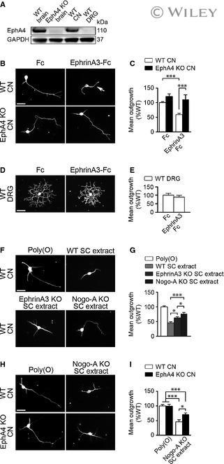 EphA4 Antibody