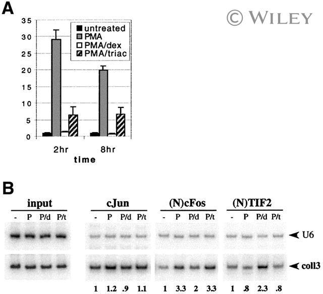 SRC2 Antibody