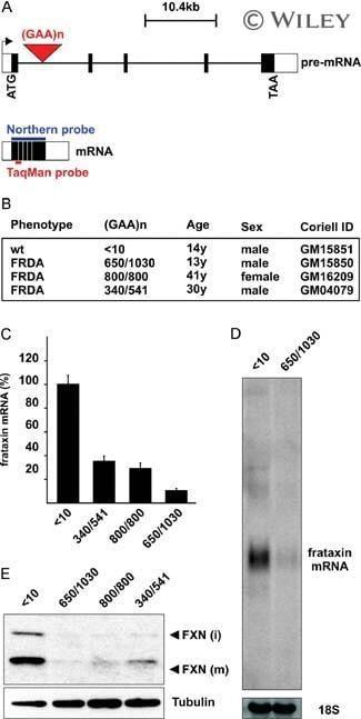 FXN Antibody