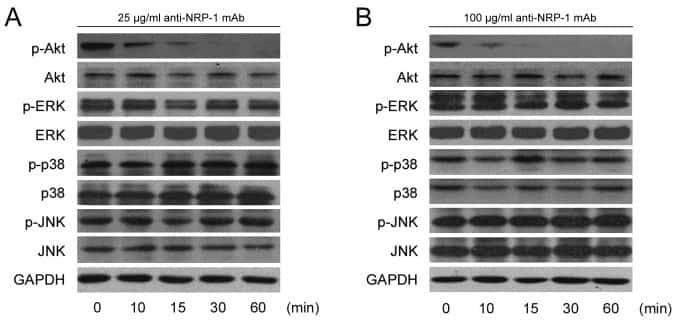GAPDH Loading Control Antibody