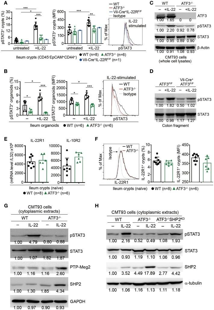 Phospho-STAT3 (Tyr705) Antibody