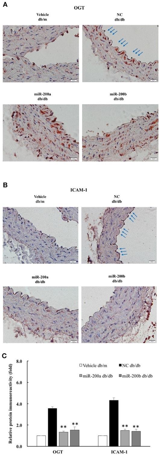 ICAM-1 Antibody
