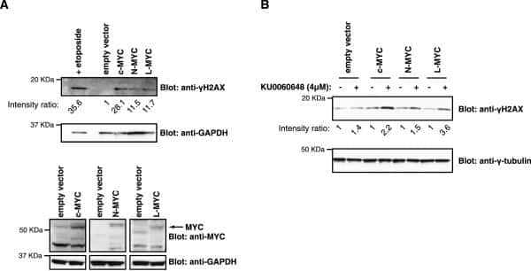 gamma Tubulin Antibody