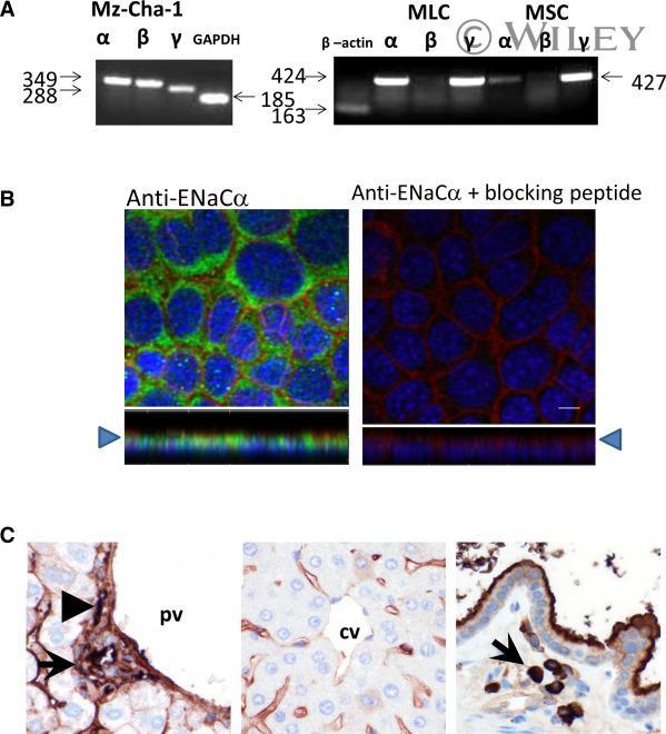 alpha-ENaC Antibody