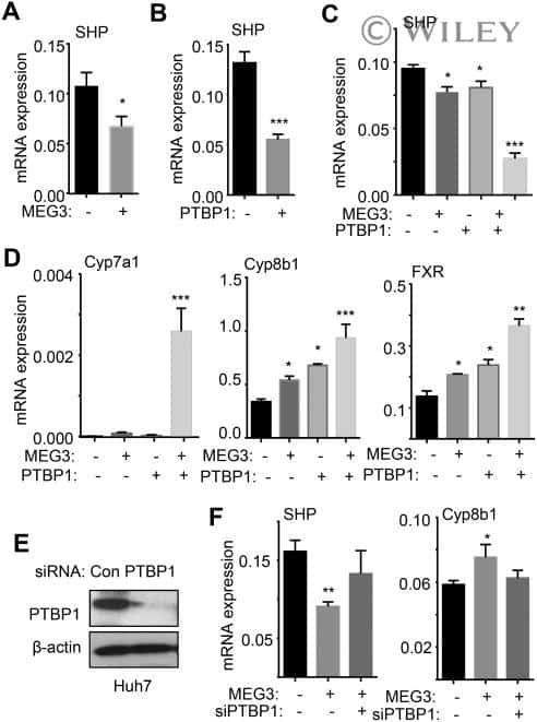 PTBP1 Antibody