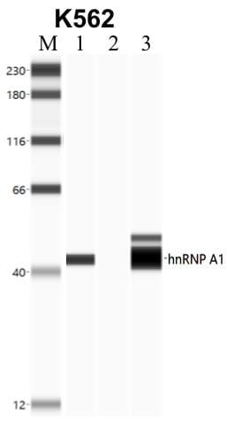 hnRNP A1 Antibody in Immunoprecipitation (IP)