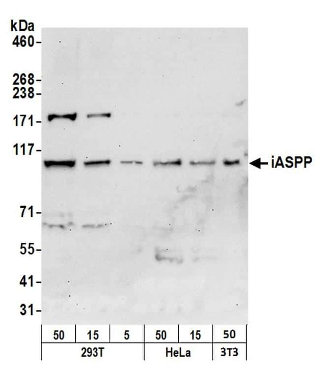 iASPP Antibody in Western Blot (WB)