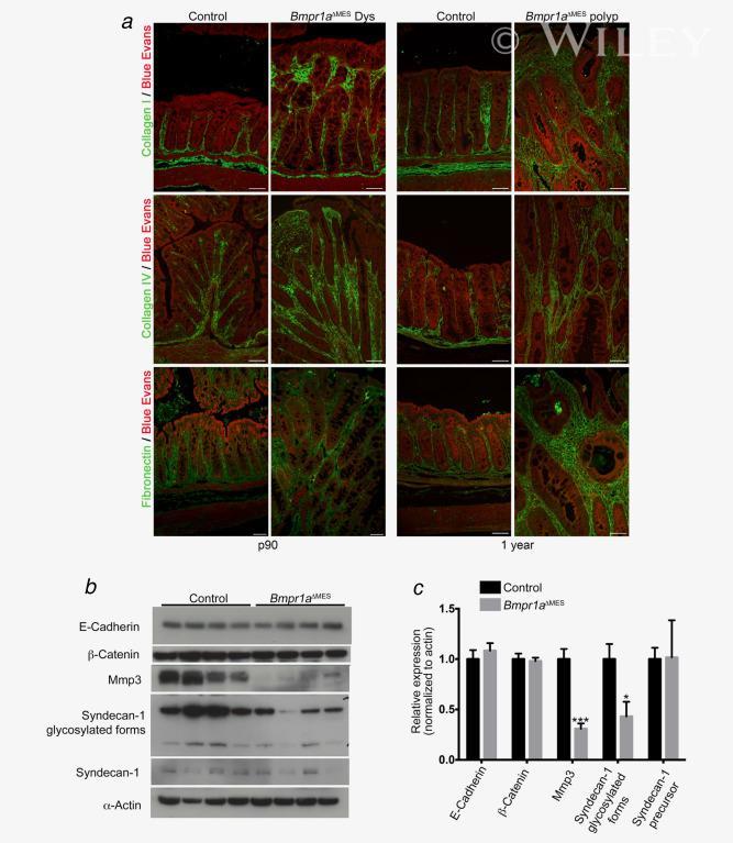 CD138 Antibody in Western Blot (WB)