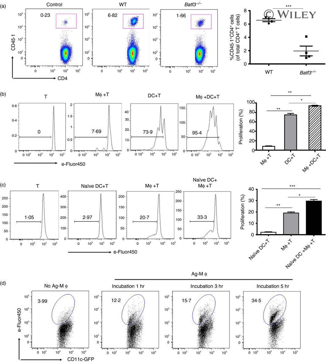 TCR V alpha 2 Antibody
