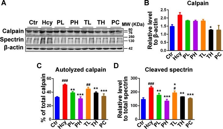 Mu-Calpain Antibody