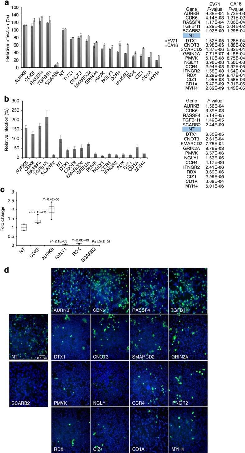 CDK6 Antibody