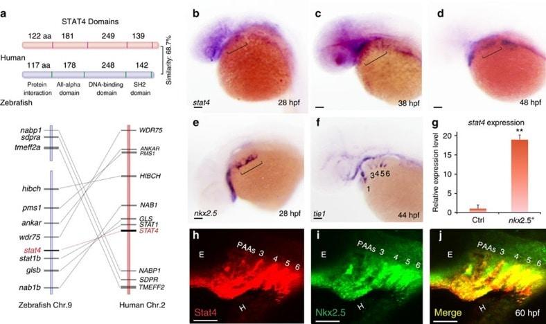 Nkx2.5 Antibody