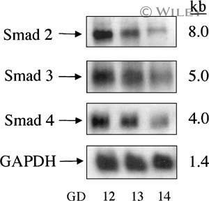 SMAD3 Antibody
