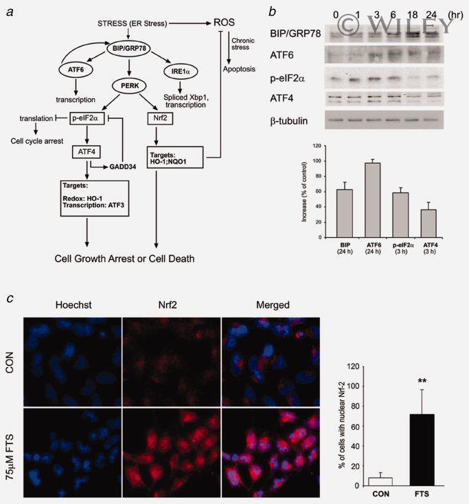 GRP78 Antibody